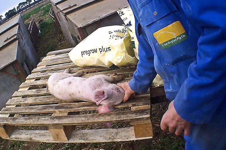 East Anglian Pig Company - Animal Equality