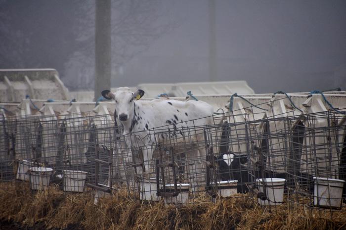 Animal Equality investigation reveals M&S milk supplier confining