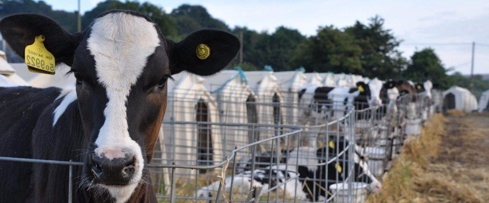 Dairy - Animal Equality
