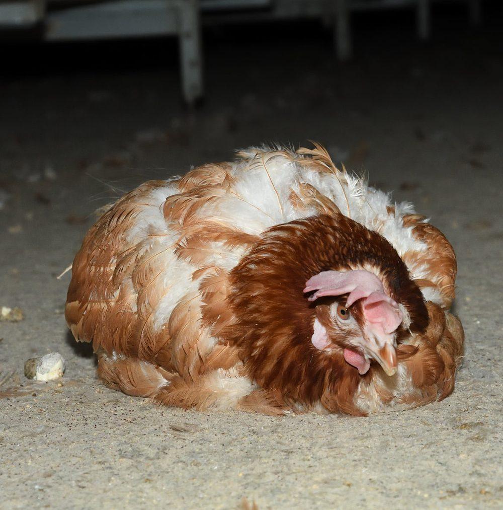 Noble Foods UK Egg Farm - Animal Equality