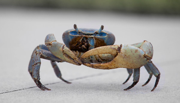 Crabs, lobsters and other decapod crustaceans need to be ...