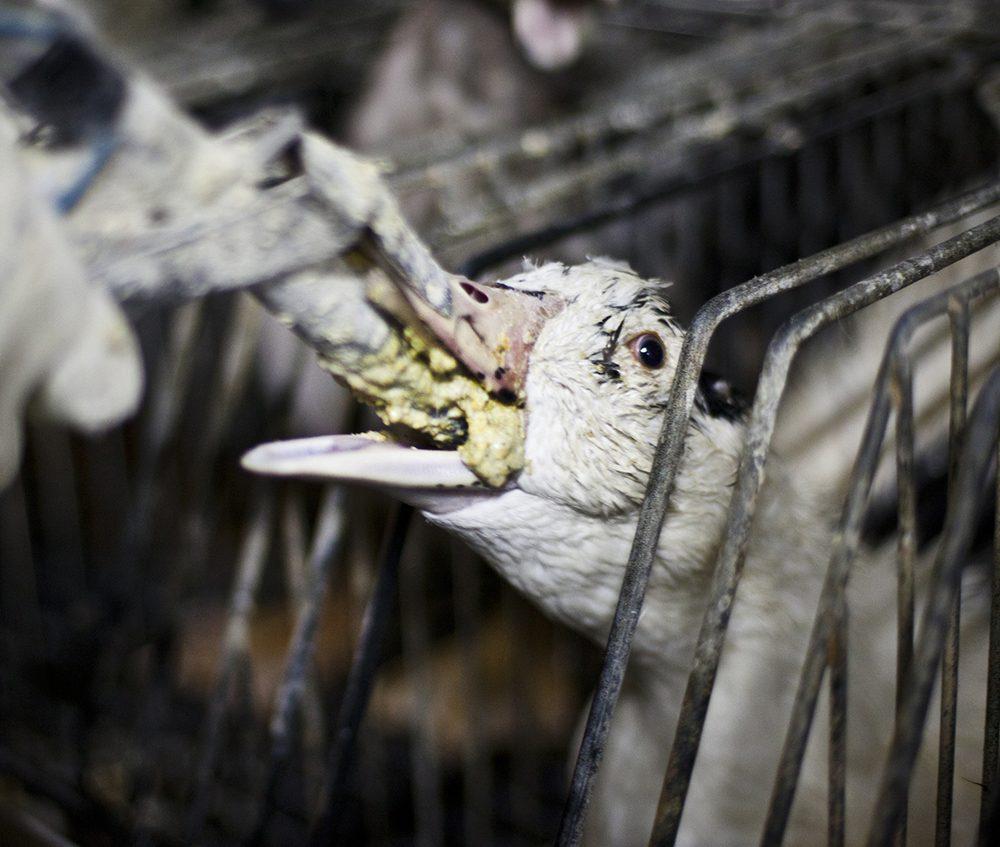 Foie Gras Gavage - Animal Equality