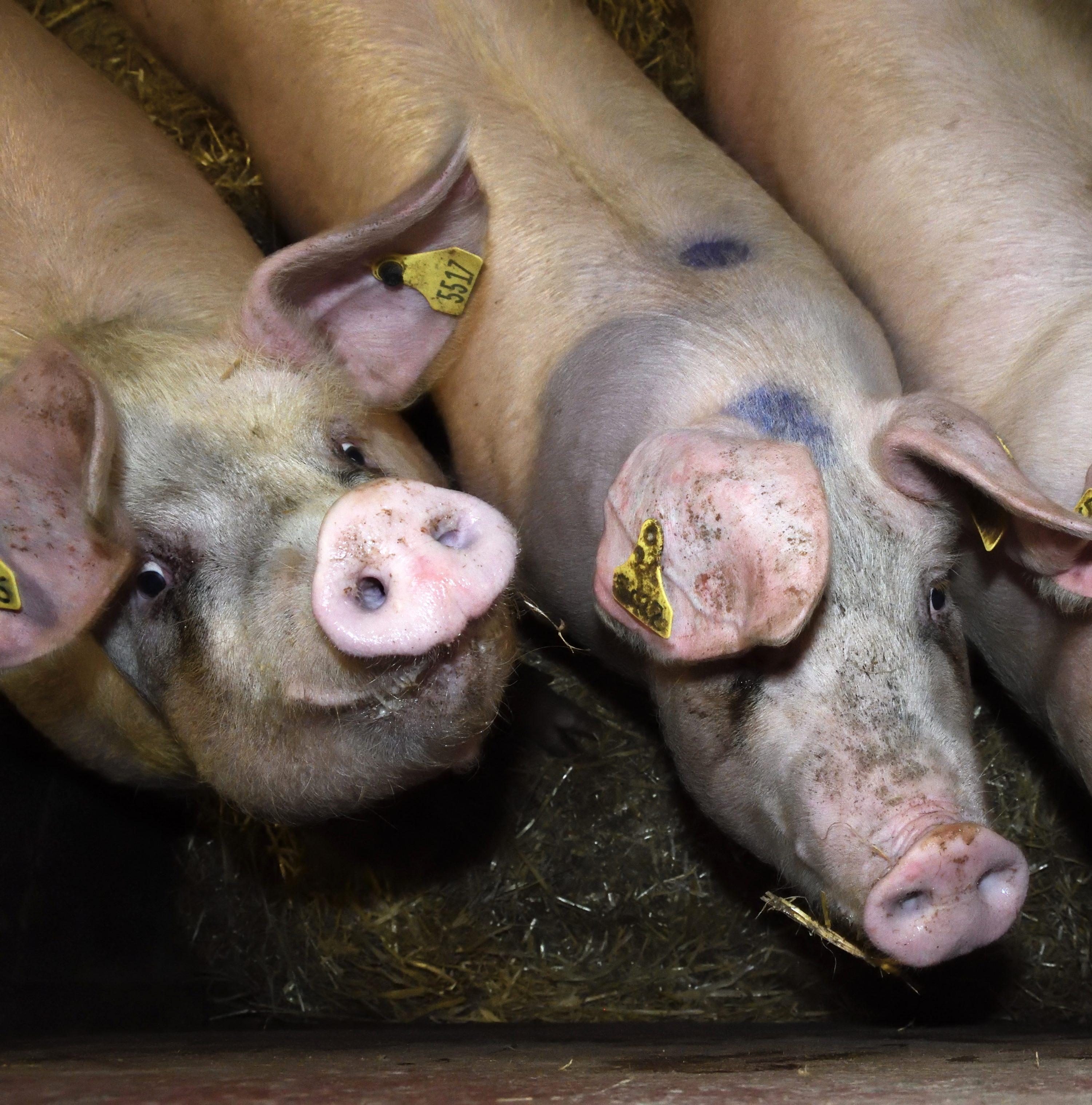 Fir Tree Pig Farm - Animal Equality