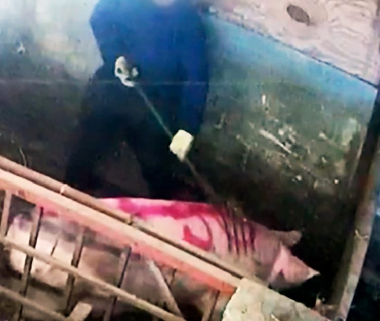 Pigs Beaten on Red Tractor Farm