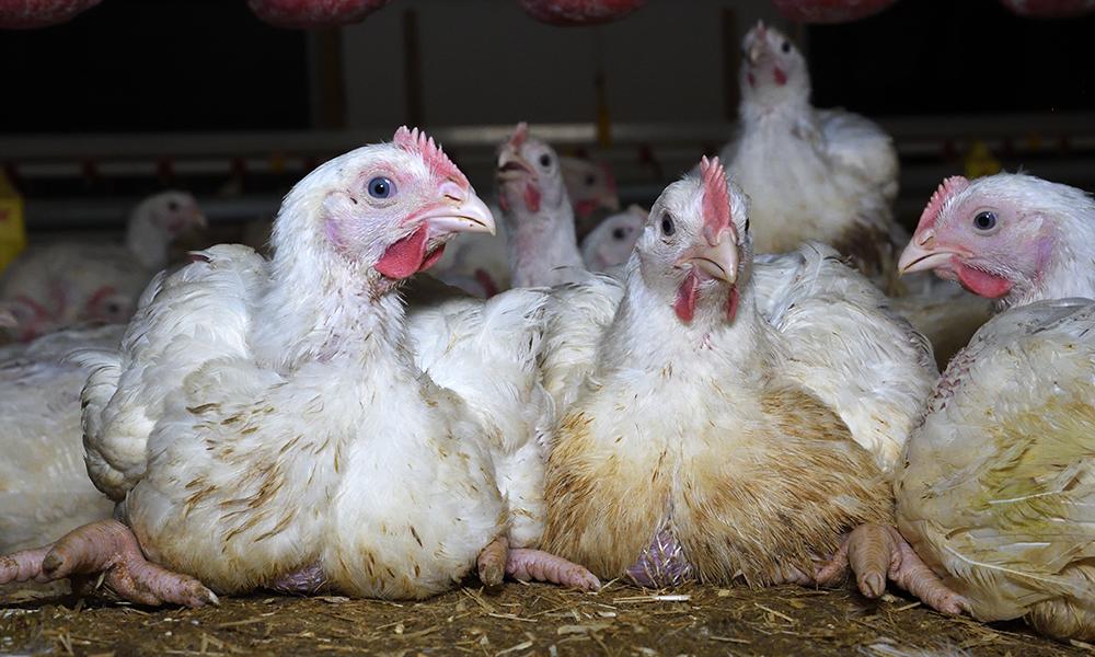 Moy Park Chicken Farm