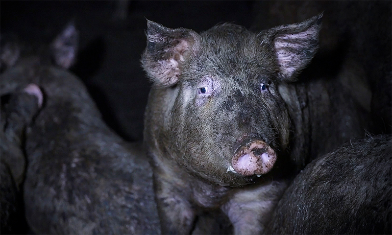 Italian Pig Farm