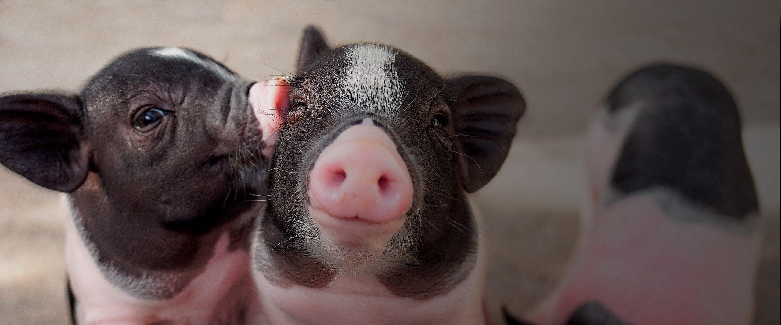 Piglets - Animal Equality