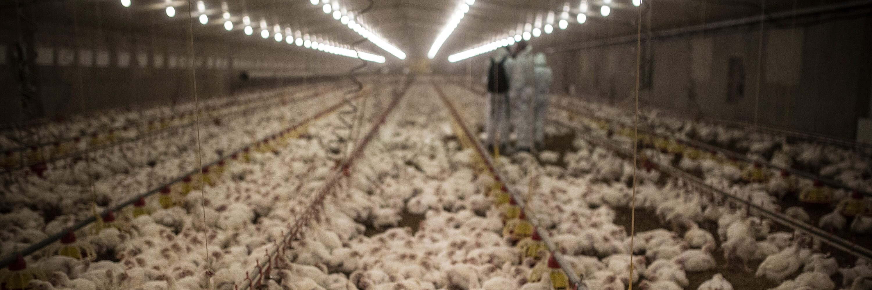 Chickens Suffer on Spanish Factory Farm