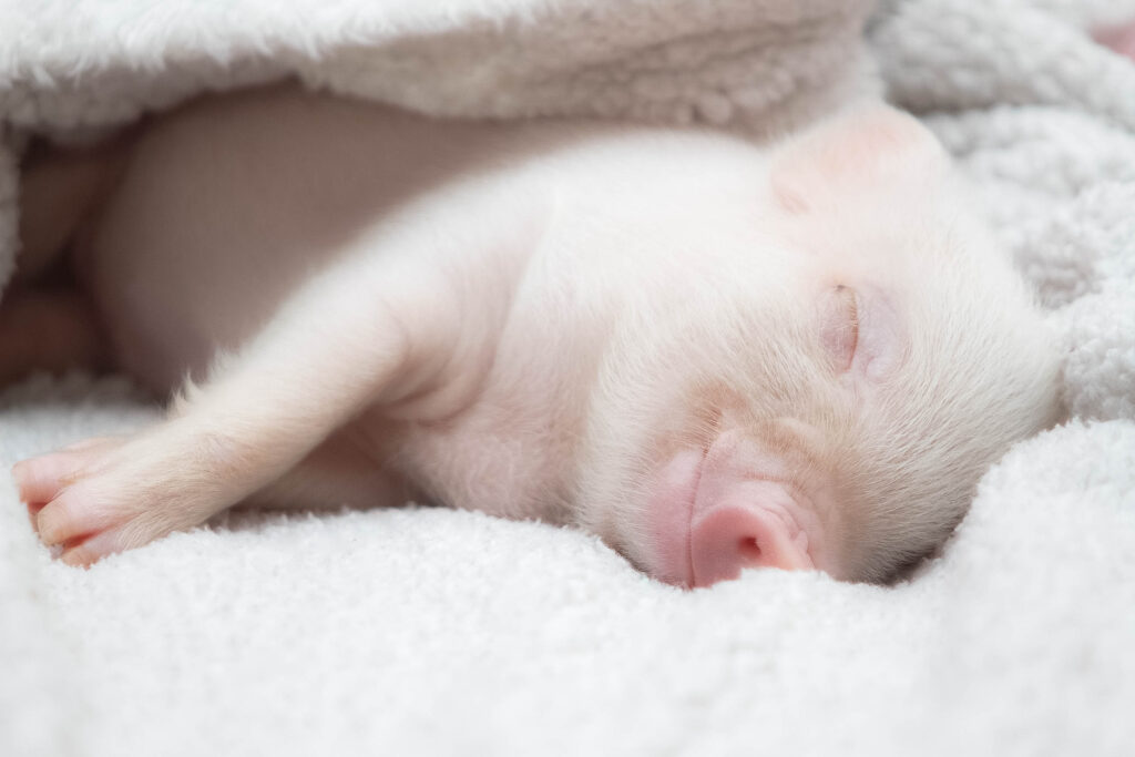 A piglet peacefully sleeping in a candid blanket.